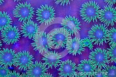 Pagoda Coral Polyps - Download From Over 37 Million High Quality Stock Photos, Images, Vectors. Sign up for FREE today. Image: 38561894