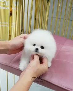 I am sho cute and sho fluffy! Gib me all the attention hooman! Cute Baby Puppies, Super Cute Puppies, Baby Animals Super Cute, Fluffy Puppies, Cute Little Animals, Cute Funny Animals, Puppies Puppies, Baby Animals Pictures, Cute Animal Photos