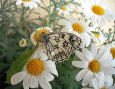 Daisy and butterfly by ildi20