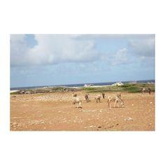Wild feral Donkeys on Bonaire Gallery Wrap Canvas
