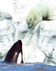 Polar bear and killer whale