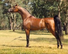 Fame VF (Bey Shah x Raffoleta-Rose) An amazing sire of champions with representatives all around the world winning at National level Halter and Performance Shows. The Dam of Marwan Al Shaqab was sired by Fame VF. Truly an amazing Arabian horse.
