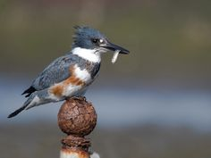 Belted Kingfisher (Megaceryle alcyon) - this beautiful and uniquely-patterned bird has a distinctive hoarse, rattle-like cry.  Frequently seen & heard at our family cottage in the Laurentian Mts. (Lac Brewer, Quebec) while growing up; I've also spotted & heard them more recently at Brazos Bend State Park and Galveston, Texas.