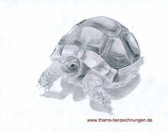 Junge Breitrandschildkröte, gezeichnet mit Bleistift auf Din A4-Größe. Gerne zeichne ich auch Ihr Tier!