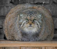 Pallas Cat- Mongolian wild cat.
