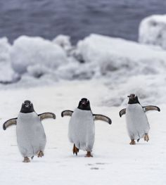 We provide Thousands of cute animal pictures, gifs, videos on demand! Animals And Pets, Baby Animals, Cute Animals, Beautiful Birds, Animals Beautiful, Gentoo Penguin, Photo Animaliere, Penguin Love, Baby Penguins