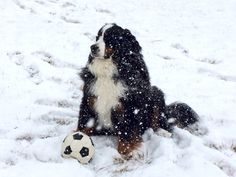 Bernese Mountain Dog... Briska