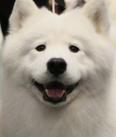 "Samoyed lovers appreciate their favorite breed not just for its upbeat personality, but also its famous grin. The uniquely upturned corners of the breed's happy face earned the look its own nickname: the ""Sammy smile."" The AKC's breed standard even mentions this, stating that a Samoyed's muzzle should be ""slightly curved up at the corners of the mouth, giving the 'Samoyed smile.'"""