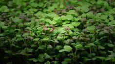 """În timpul ultimelor evenimente cu public larg la care am participat, am întâlnit foarte des această confuzie: """"Microplante, a, da, știu, am auzit de germeni"""". Dar diferența dintre #microgreens și g…"""