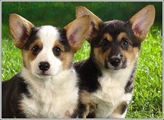 4 Dog Puppy Pembroke Welsh Corgi Dogs Puppies 2 Greeting Notecards/ Envelopes Set. $6.99, via Etsy.