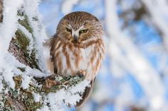 Adult Northern Saw-whet Owls are 17–22 cm long with a 42–56.3 cm wingspan. They can weigh from 54 to 151 g (1.9 to 5.3 oz) with an average of around 80 g (2.8 oz),making them one of the smallest owls in North America.They are close to the size of an American robin. The northern saw-whet owl has a very sophisticated hearing. Such accurate sound localization allows it to hunt in a complete darkness by hearing alone (Source: Wikipedia) Saw Whet Owl, American Robin, Small Owl, Newfoundland, Owls, Darkness, North America, Newfoundland Dogs, Owl