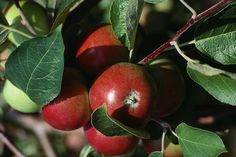 Apples are the perfect backyard fruit tree. See how to grow apples in a small garden space!