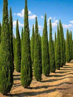 Italian Cypress #landscapedesigner Privacy Landscaping, Landscaping Supplies, Landscaping Software, Landscaping Plants, Landscaping Rocks, Garden Supplies, Landscaping Contractors, Succulent Landscaping, Luxury Landscaping