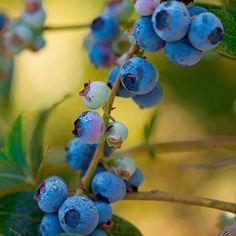 Toro Blueberry on Fast Growing Trees Nursery