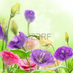 Colorful blooming eustoma a soft green background
