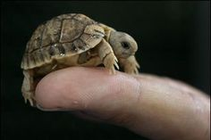 Very cute tiny turtle. Very cute tiny turtle. - Animals, Cute - Check out: Tiny Turtle on Barnorama Cute Creatures, Beautiful Creatures, Animals Beautiful, Beautiful Boys, Cute Baby Turtles, Cute Baby Animals, Small Animals, Ninja Turtles, Tiny Turtle