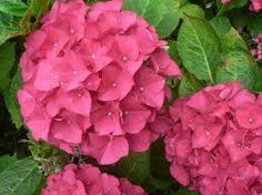 Hydrangea macrophilla, Hortenzie velkolistá