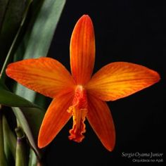 Novo post no blog - Sophrolaelia Marriotiana #orquídeas #orquideasnoape #orchids