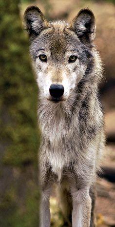 I love the wolves.