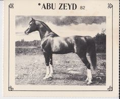 *ABU ZEYD (Mesaoud x Rose Diamond) 1904-1930 Rose Diamond was purchased in foal to Mesaoud from the Crabbet stud, imported to US in 1910 by Homer Davenport. *Abu Zeyd and *Astraled were the only two sons of Mesaoud imported to the U.S., both early day sires of great influence. Horse Coat Colors, Horseback Riding Lessons, Beautiful Arabian Horses, Arabian Stallions, Horse World, Horse Sculpture, Horse Breeds, Horse Photography, Horse Love
