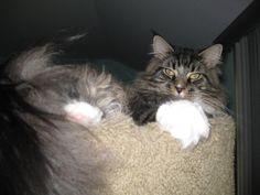Maine coon kittens binghamton ny