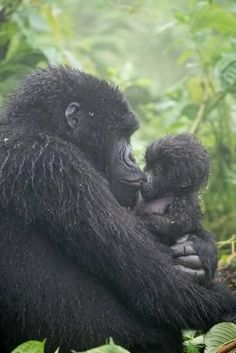 Photographic Print: Portrait of Mountain Gorilla, Gorilla Beringei Beringei, Embracing its Young by Tom Murphy : Primates, Nature Animals, Animals And Pets, Beautiful Creatures, Animals Beautiful, Cute Baby Animals, Funny Animals, Baby Gorillas, Baby Chimpanzee