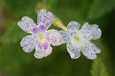 Verbena Verbena, Dandelion, Flowers, Plants, World, Types Of Flowers, Different Types Of, Dandelions, Plant