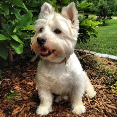 Snowy a West Highland White Terrier.