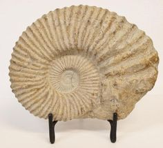 I would love to have this big fossil!!
