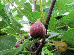 Figs Figs, My Photos, Landscaping, Yard Landscaping, Landscape Architecture, Garden Design, Fig, Landscape Design