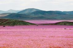 The Atacama desert is awash with color after extreme El Nino rains. in Chile Image Desert, Fotojournalismus, Chili, Deserts Of The World, Dry Desert, Desert Sahara, Desert Flowers, Pink Flowers, Paisajes