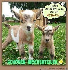 Goats, Animals, Good Morning Wednesday, Morning Sayings, Good Morning Images, Good Day, Funny Animal Pics, Animales, Animaux