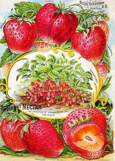 Henderson's 1894 catalogue back cover (Nectar Strawberries)