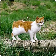 Manx Cat - Cat Breeds - Purina Australia