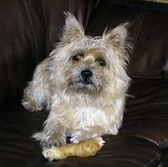 pictures of Cairn Terrier dogs | To view a complete gallery of pictures, just click on Pictures for ...