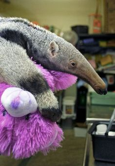 they give the baby anteater a stuffed animal to hold onto during its exam!