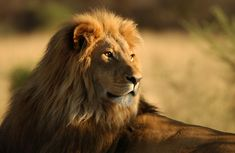 Lion is often called as king of forest and is very famous among human beings. Their average age is about years and also lion is being the second largest Lion Hd Wallpaper, Tier Wallpaper, Animal Wallpaper, Wallpaper Wallpapers, Imagenes Wallpaper, White Wallpaper, Lion Pictures, Animal Pictures, Lion Africa