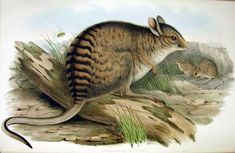 Too Big to Hop? – Update - I have written previously on this blog about the bizarre giant kangaroos which used to roam Australia (see Too Big to Hop?) but now scientists have managed to obtain DNA samples from two different... Click pin to read the full article