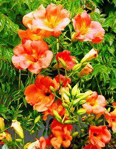 Glycine du japon rosea wisteria floribunda plante - Jasmin de virginie etoile ...