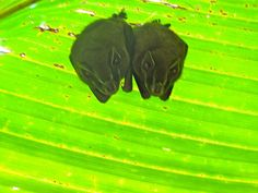 Tino finds bats under heliconia leaves by Chill Expeditions, via Flickr