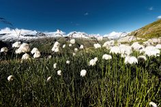 Cotton Grass by Stefan Martin Lusser on Austria, Flora, Grasses, Mountains, Country, Cotton, Travel, Beautiful Landscapes, National Forest