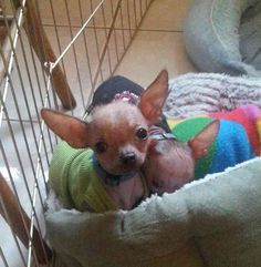 2 hairless 4 month old boys, and 1 hairless 14 month old female. All will max out at 3-3 1/2 lbs.  All have recently been fixed. Boys $650.00 each. Girl $950.00 Also have a very sweet haired chihuahua female (also fixed) white with grey. Currently 6 lbs, but could lose a little weight.Should be 5 lbs.  $400.00. I am located in Whitehouse Station. Contact me for more info. $650.00 USD