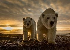 Dwa, Polarne, Niedźwiedzie, Zachód, Słońca