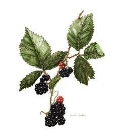 Jennifer Jenkins – The Society of Botanical Artists