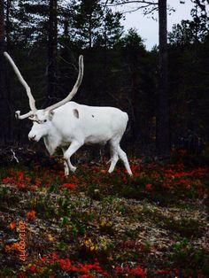 Vit ren i Finska Lappland.
