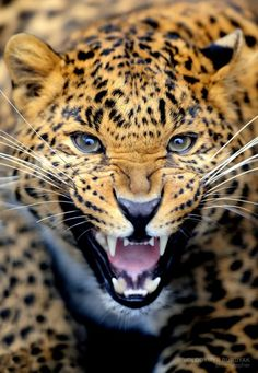 """Leopard. Visit Facebook: """"Animals are Awesome"""". Animals, Wildlife, Pictures, Photography, Beautiful, Cute."""