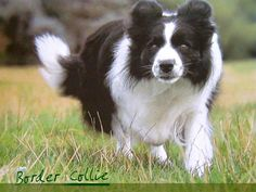Bred to herd cattle, Border Collies are blindingly trainable and tireless.  If you have both a couch and a TV, it's not your breed.  They need a hobby that involves running:  flyball, agility, frisbee golf ...