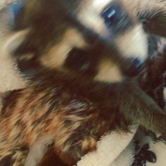 #tbt to when #pumpkin was just a #baby ! #toocute #adorable #babyraccoon #raccoon #rescue #loveher #bahamas
