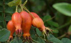 Sweginzows Rose (Rosa sweginzowii 'Macrocarpa') zählt zu den schönsten Hagebutten-Rosen