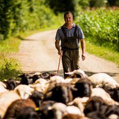 Krainer Steinschafe von Bio-Bauern Jeitler aus der Oststeiermark